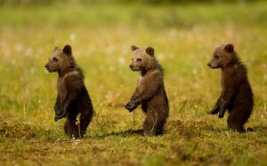 Bear cubs at Martinselkonen.