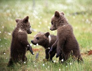 Small bear cubs in Martinselkonen