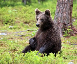 Young bear wondering in Martinselkonen.